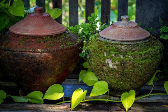 Growing betel tree at vintage jars.