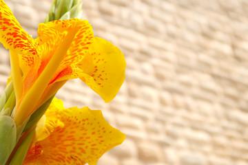 Closeup of yellow canna lily blooming in the street of Locorotondo, Italy, Apulia region, Adriatic Sea