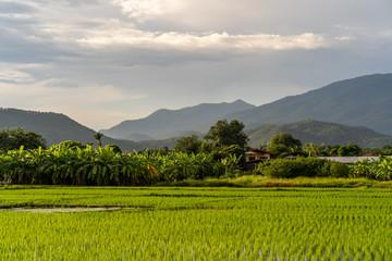 Aluminium Prints Dark grey Rice field against mountain scape background.