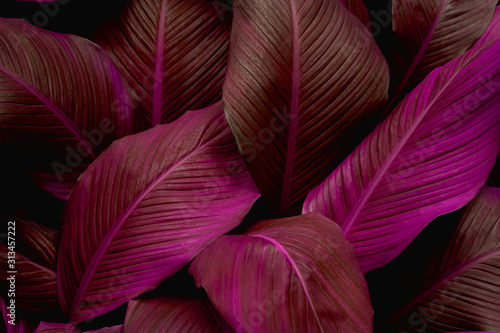 Wall mural leaves of Spathiphyllum cannifolium, abstract purple texture, nature background, tropical leaf