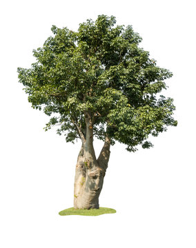 Small Baobab tree isolated on white background with clipping path