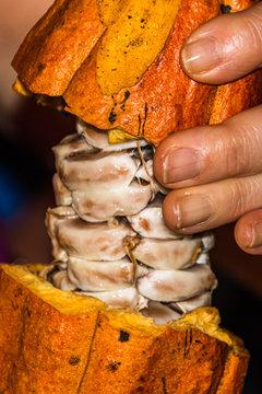 Karibische Kakaofrucht bei der Ernte