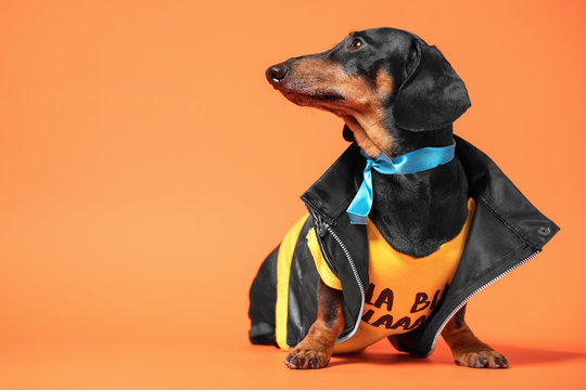 dachshund wearing cool  leather classic biker jacket and blue ribbon on the neck looking away.  orange background, studio. Prostate cancer awareness, movember men health international day