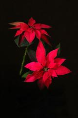 Primo piano del fiore rosso della stella di Natale, anche conosciuto come la stella di Natale o la stella di Bartolomeo isolata su fondo scuro. Concetto di vacanze invernali di Natale.