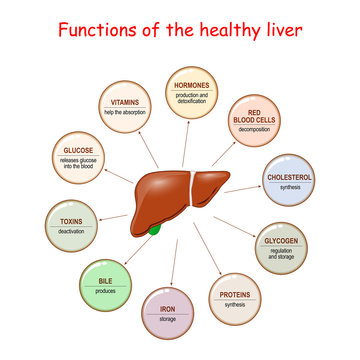 Functions of the Healthy Liver.
