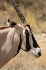 Canvas Prints Antelope Oryxantilope im Samburu Nationalpark Kenia