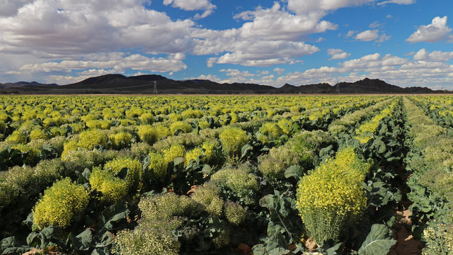 Field of Broccoli Grown for Seed, in Yuma Arizona; fruit of broccoli is called a silique; each plant typically produces quarter pound of seeds