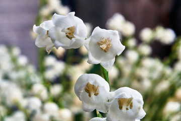 Photo sur Plexiglas Muguet de mai Details of white flowers of the lily of the valley.