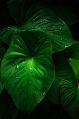 Wall Mural - Large foliage of tropical leaf in dark green with rain water drop texture, abstract nature background. spring time.