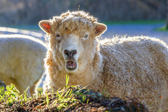 Woolly white sheep backlit in a pasture on a sunny winter day