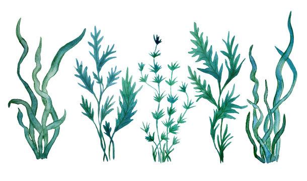watercolor hand drawn illustration green blue water seaweed algae marine food labels kelp laminaria spirulina organic