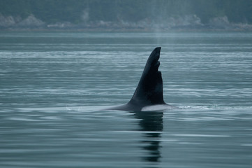 Male Orca with Damaged Dorsal Fin