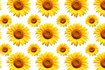 Wall Mural - White background sunflower image