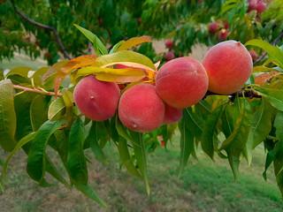 Ripe Peach on the Branch