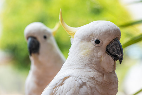Portraits of a yellow crested cockatoo