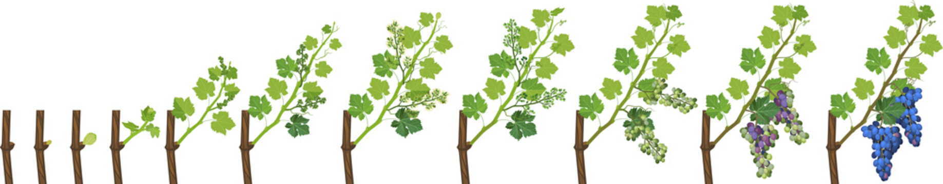 Annual growth life cycle of grapevines isolated on white background. Grapevine development stages