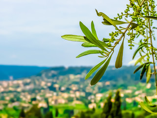 Olive branch amid French Riviera hills. View of the rural landscape