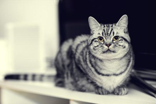 Britisch Kurzhaar, Silver Tabby, Katze