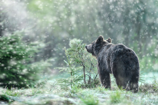 A brown bear in the green forest. Big Brown Bears animal. Ursus arctos.