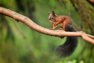 Cute red squirrel in autumn park on stump.