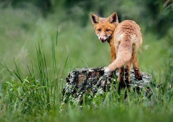 Red Fox in forest. Smart foxes in natural habitat.