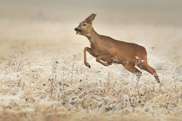 Foto auf Leinwand Reh Roe deer high jump in natural habitat.