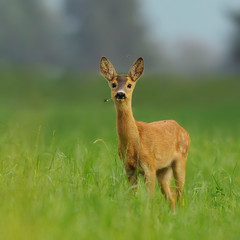 Photo sur Aluminium Roe Roe deer standing in forest natural habitat.