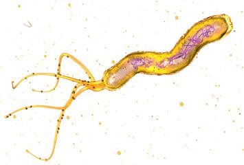 Helicobacter pylori bacterium, causing peptic ulcer disease, gastritis, 3D medically illustration