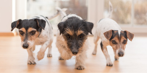three cute little Jack Russell Terrier dogs running through the apartment at home