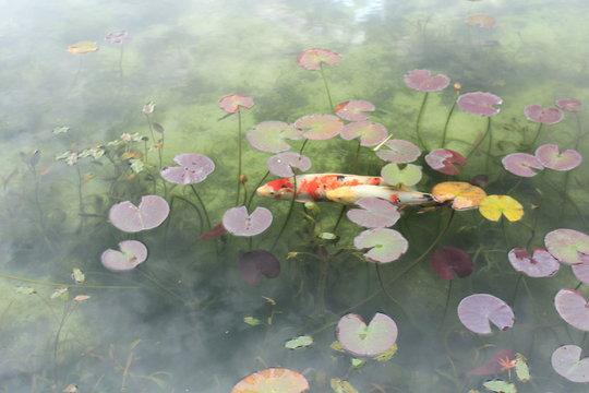 岐阜県関市 モネの池(名もなき池)