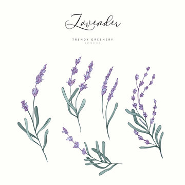 Floral lavender branch. Hand drawn wedding herb, plant elegant leaves for invitation save the date card design. Botanical rustic trendy greenery vector