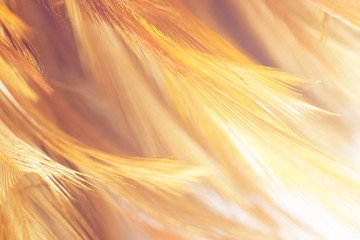 Wall Mural - Beautiful orange color trends chicken feather pattern texture background