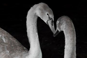 Photo sur Aluminium Cygne young swan