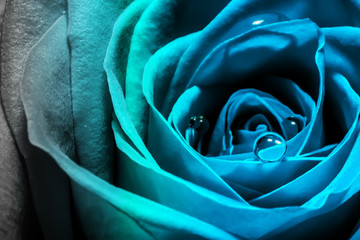 Fotobehang Macrofotografie Creative macro photo of a rose flower with drops of water close-up with a gradient in the 2020 color trend in blue tones.
