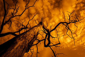 silhouette of dead tree with sky on fire, burnt tree with branches rising to cloudy and dramatic sky, apocalyptic landscape at sunset Fototapete
