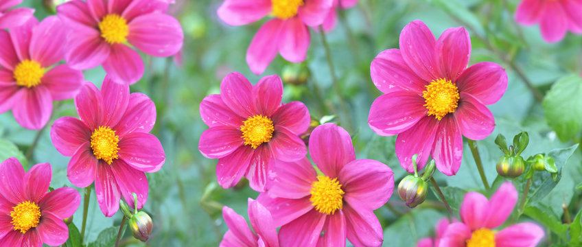 banner of panoramic view of beautiful pink flowers blooming