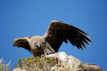 Andean Condor (Vultur gryphus) on Cliffside, Ready to Take Off. Colca Canyon, Peru