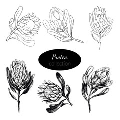 Vector illustration hand-drawn Protea flowers set. Large African flower for decorating invitations, wedding cards, design for Valentines Day and Mother's Day and Woman's day. Spring and summer decor