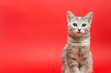 Gray tabby cat on a red background. Animal portrait. Pet. Place for text. Copy space