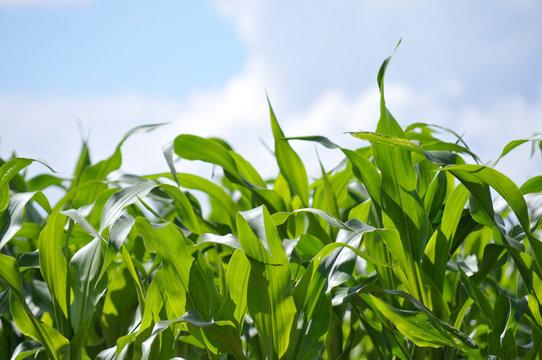 France. agriculture. champs de maïs mûr. ripe corn fields.