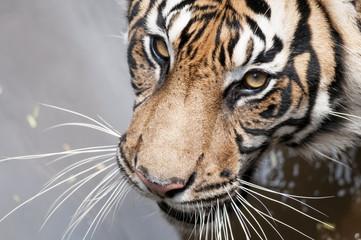 Photo sur Aluminium Tigre Tigre tranquilo