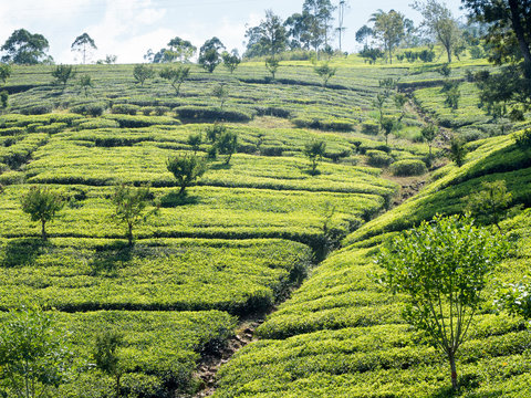 Picking green tea leaves in the high country of sri lanka