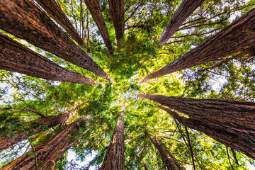 Foto op Plexiglas Bomen Looking up in a Coastal Redwood forest (Sequoia Sempervirens), converging tree trunks surrounded by evergreen foliage, Purisima Creek Redwoods Preserve, Santa Cruz Mountains, San Francisco bay area