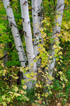 553-24 Birch Forest Early Autumn