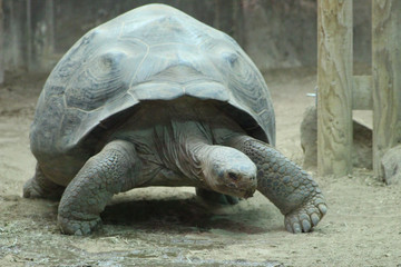 Photo sur Aluminium Tortue giant galapagos tortoise