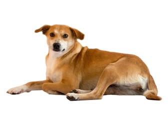 cão, vira-latas, doméstico, dócil, animal de estimação
