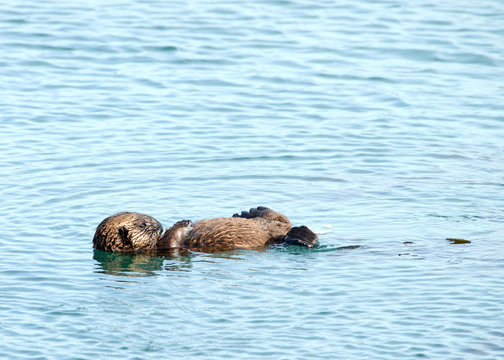 Baby sea otter floating in water.