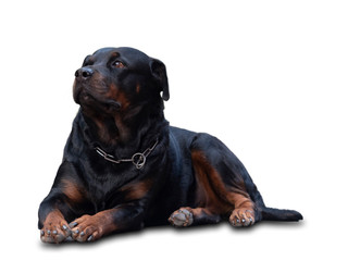 Rottweiler dogs that are fierce but cute and like to take pictures.