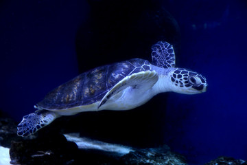 Beautiful turtle swimming in clear aquarium water