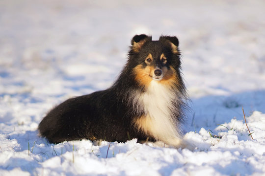 Adorable fluffy tricolor Sheltie dog lying down on a snow on sunset in winter